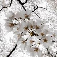 Фристайл – Вишнёвый сад